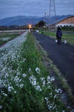 高尾野の桜2