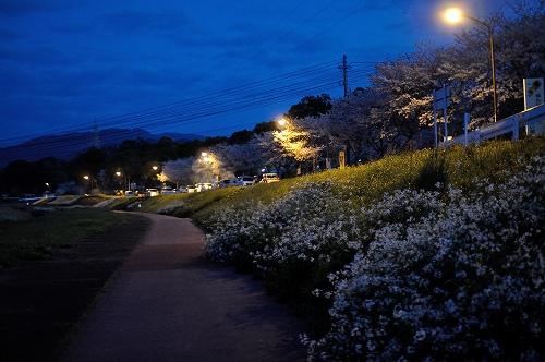 高尾野の桜3