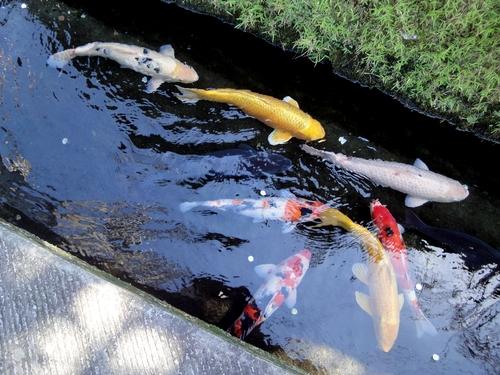 230923 鯉が泳ぐ通り1