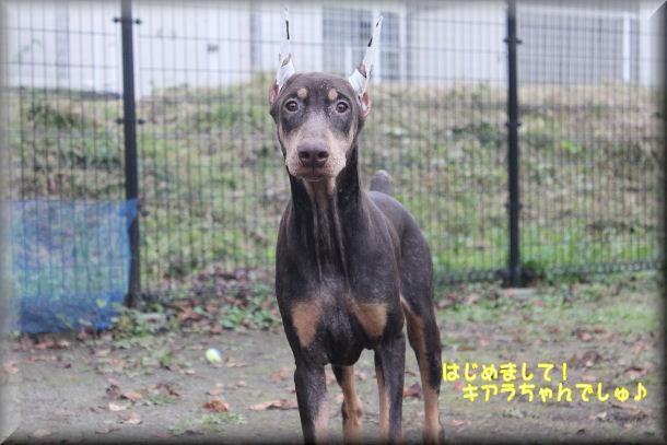 同胎犬キアラちゃん