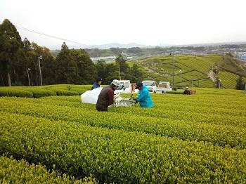 2013.4.10 全国茶品評会 出品茶 摘採・製造しました。