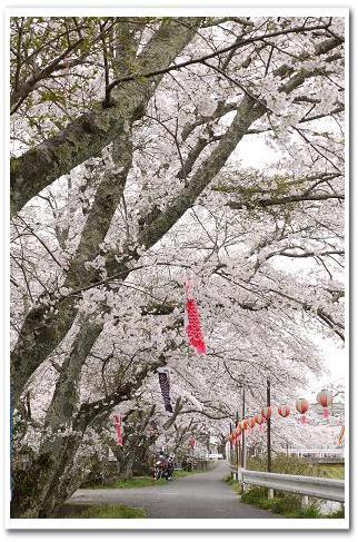 12.4.16 宇陀の桜ツーリング (13)