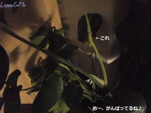 新しい葉っぱ