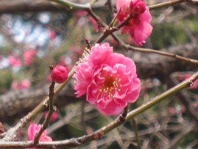 IMG_0274 ⑩ 前橋公園の紅梅