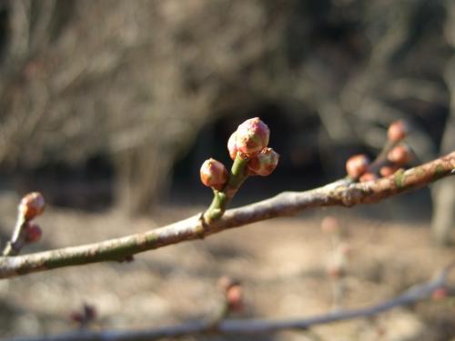 栗の木の芽【縮小】