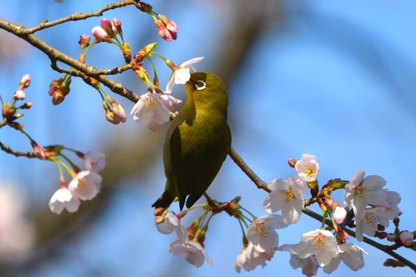 mejirosakura_convert_20120406235919.jpg