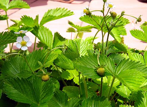 ワイルドストロベリーの実と花.jpg