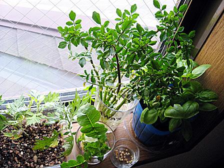 窓辺のキッチンガーデン.jpg