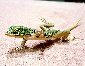 ナミブ砂漠のトカゲ.jpg