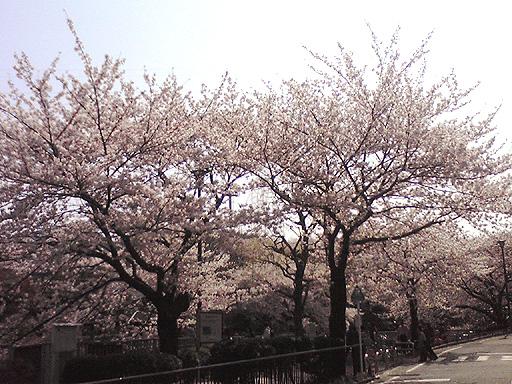 桜2010.jpg