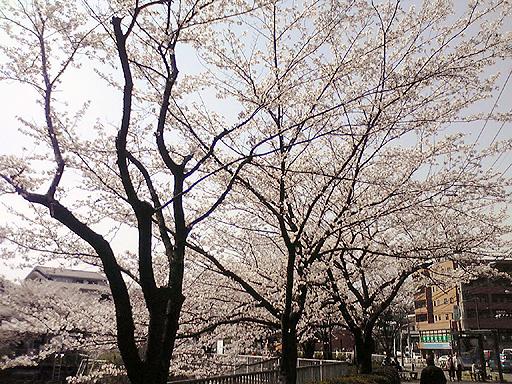 桜2010-2.jpg