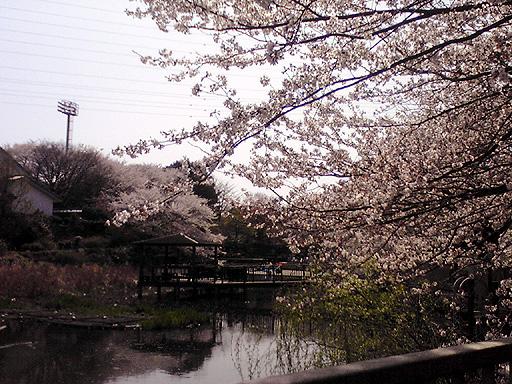 桜2010-3.jpg