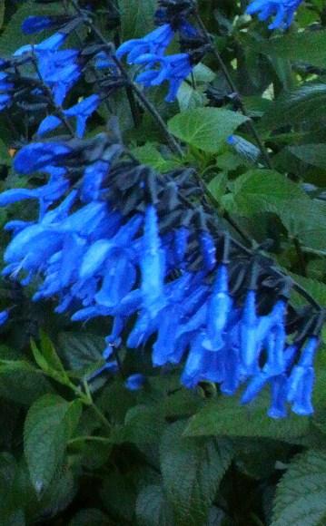 20130613青い花.jpg