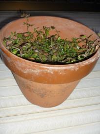 花が咲かなくなったクラピアの鉢