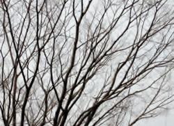 _うす曇りのケヤキ (300x217) (250x181)