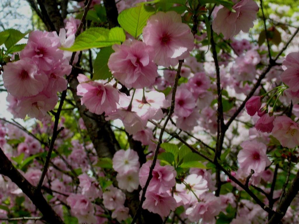 2003 4 3舞鶴公園桜3