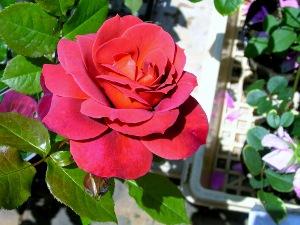 ハウステンボスびろーどのようなバラ2008.5.13 (300x225)