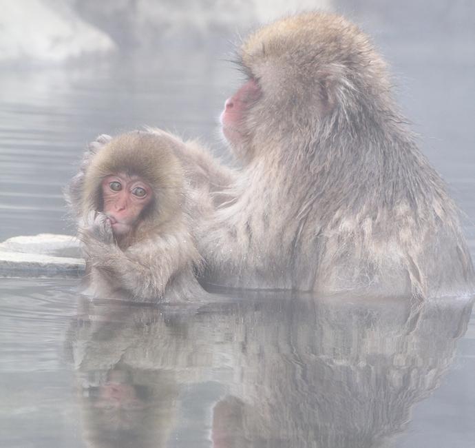温泉に浸かるサルの親子 地獄谷野猿公苑にて