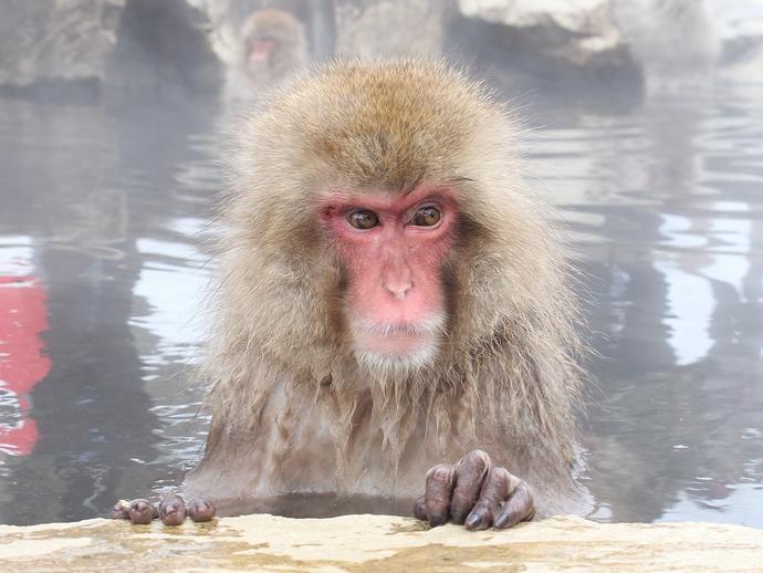 温泉に浸かるサル 地獄谷野猿公苑にて