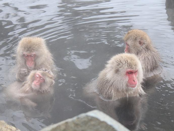温泉に浸かるサルたち 地獄谷野猿公苑にて
