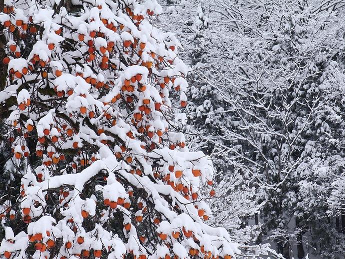 雪に映える柿の木(相倉合掌集落)