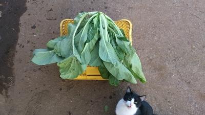 131202 ジャンボ小松菜