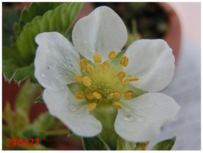 240421イチゴの花