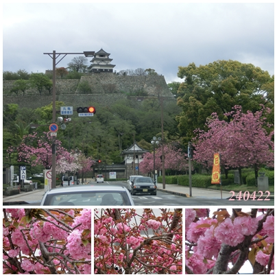 240422丸亀城と牡丹桜