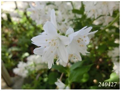 240427白い花?