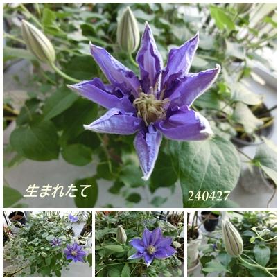 240427クレマチス(紫)