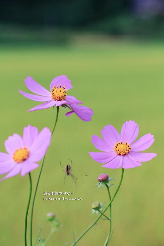 淀江 真名井の名水 秋桜 コスモス