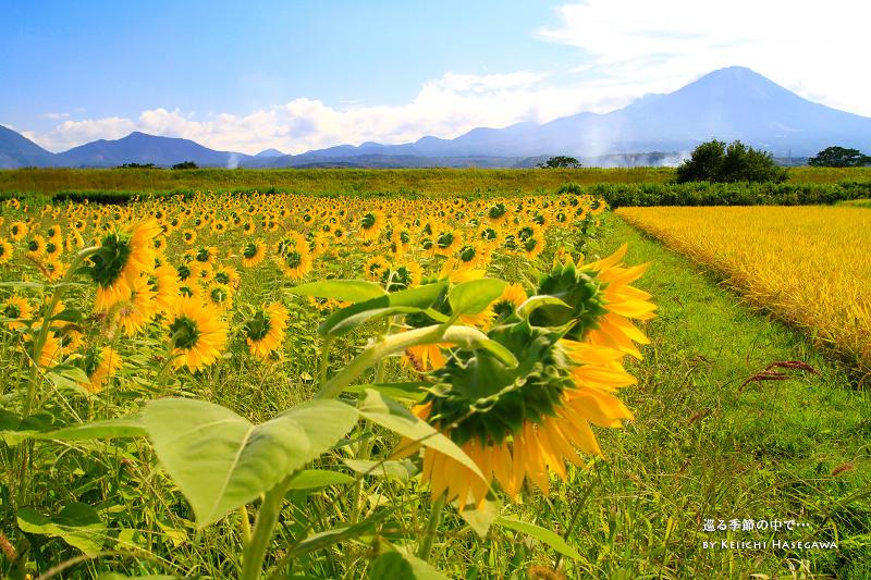 季節外れの向日葵畑