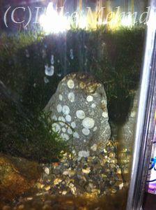 彼女が教えてくれた水槽の中の隠れミッキー。実は隕石なんだって!