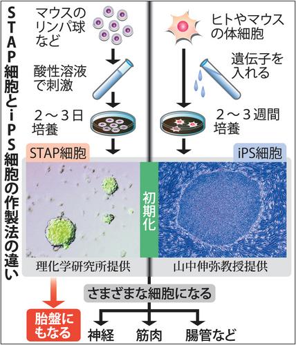 STAP細胞とiPS細胞の作製法の違い