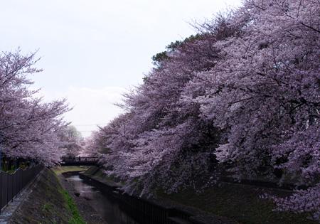 善福寺緑地桜満開1