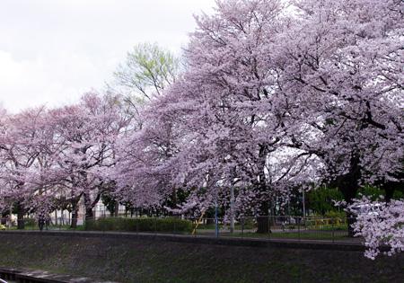 善福寺緑地桜満開2
