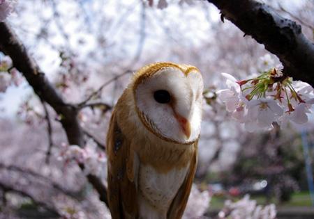 桜とバロン3