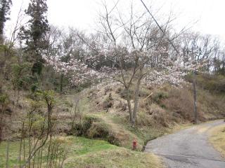 やっと桜が咲き始めました。