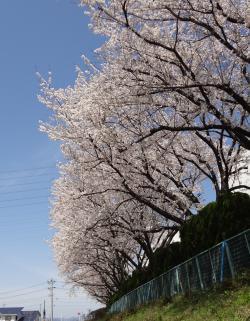 sakura2012-8_convert_20120412154924.jpg