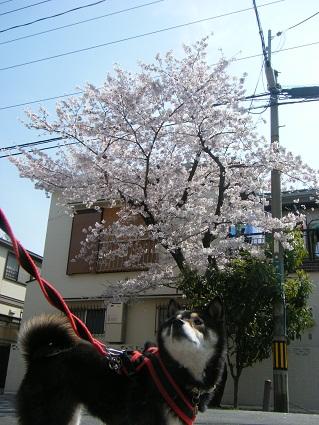 20110410ミツルリ花見1