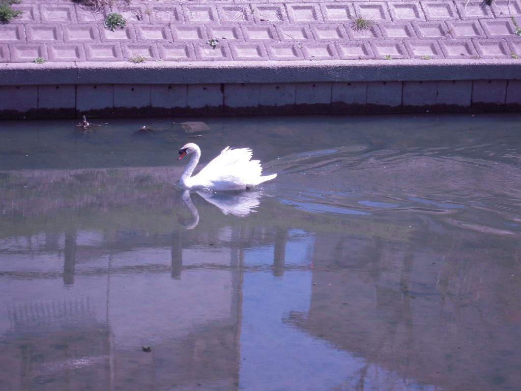 白鳥☆ 1