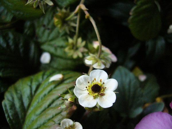 イチゴの花横