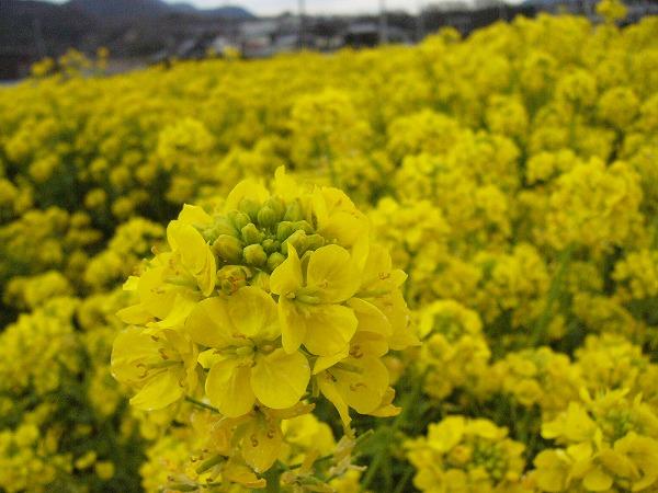 ぼんやり菜の花