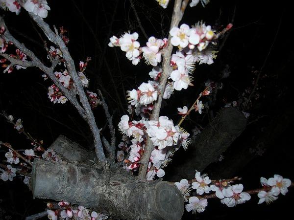 梅の花フラッシュ