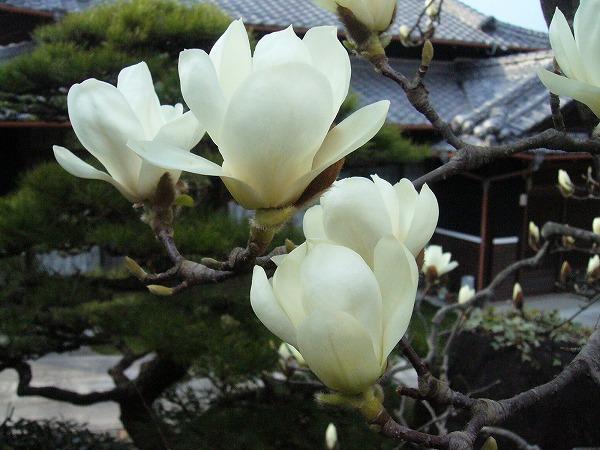 木蓮の花だけ