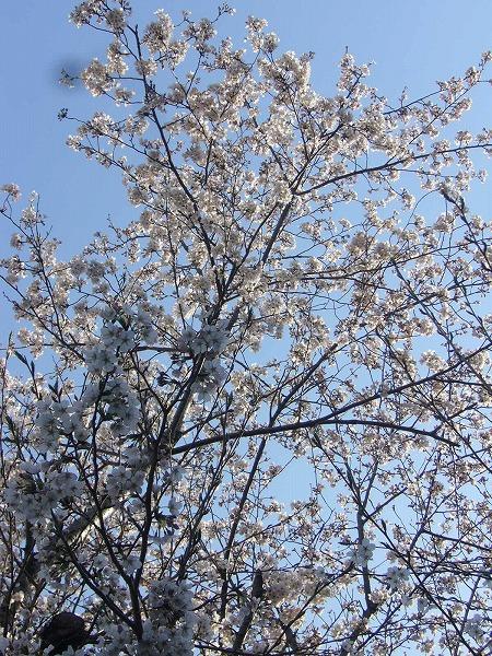 高瀬川の桜縦