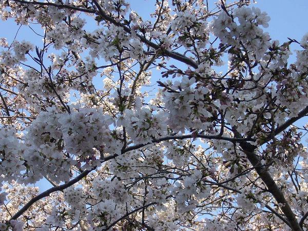 高瀬川の桜満開