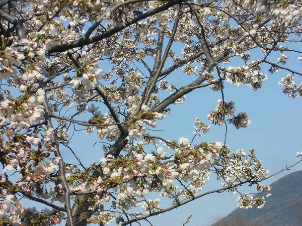 高瀬川の桜(まだ蕾も)