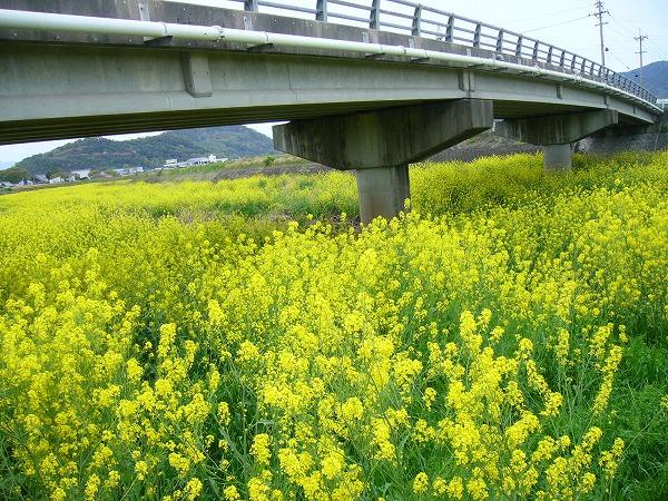 三野津橋と辛子菜