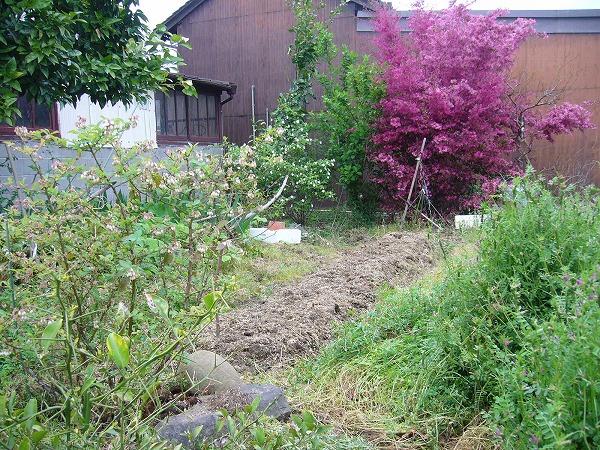 ヤーコンと里芋畑